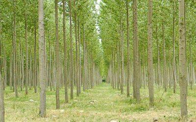 FAFCYLE vende 29 lotes de madera de chopo en Zamora por más de 1.300.000 €